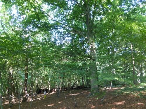 Bos van Kolmont, monumentale bomen