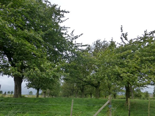 Borgloon, Neremstraat, Kersenboomgaard (3)