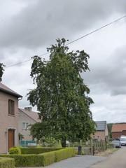 Twee oude perenbomen