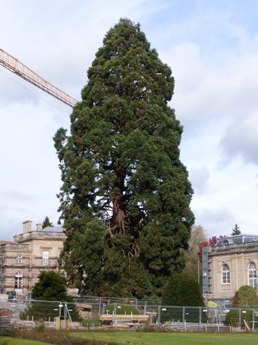 Tervuren Warande Mamoetboom
