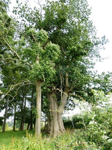 Voeren, Altenbroek 4, boomgroep kasteeldomein