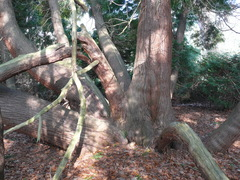 Reuzenlevensboom domein Ronsevaal