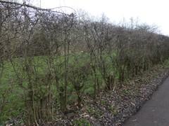 Meidoornhaag als veekering bij hoogstamboomgaard