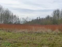 Rijshoutaanplanting