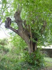 Gekandelaarde linde in Engels park Alden Biesen