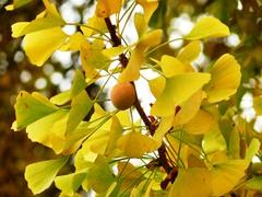 Japanse notenboom bij Hof ten Damme