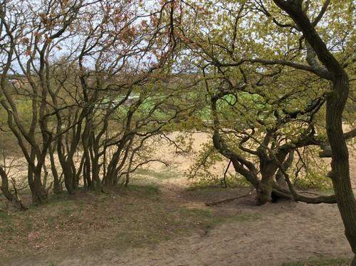 Konijnenberg, hakhout van zomereik, Vosselaar