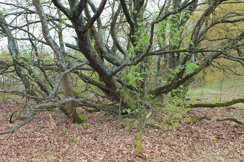 Konijnenberg, hakhoutstoof van zomereik, Vosselaar