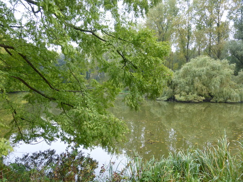 Aalst Domein Ronsevaal  Brusselse steenweg 211 Gele treurwilg (4)