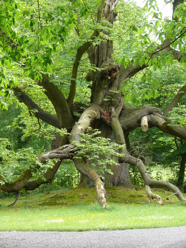 Lovendegem Vinderhoute drie oude tamme kastanjes  kasteel schouwbroek (11)