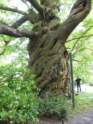 Lovendegem Vinderhoute drie oude tamme kastanjes  kasteel schouwbroek (4)