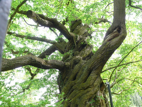 Lovendegem Vinderhoute drie oude tamme kastanjes  kasteel schouwbroek (6)