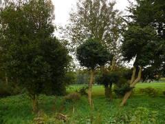 Buxus in pastorietuin
