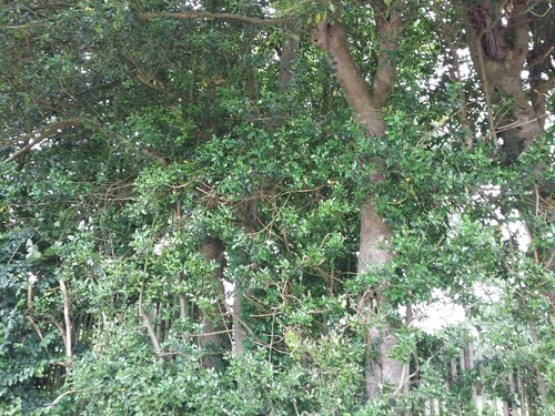 Lubbeek - Drogenhof - Bomengroep van hulst