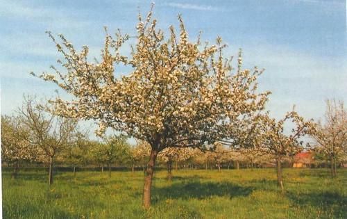 Diepenbeek Hoogstamboomgaard (1)