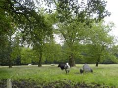 Bomengroep van oosterse platanen