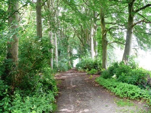 Kruishoutem Lozer Beukendreef met opgaande bomen (1)