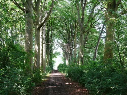 Kruishoutem Lozer Beukendreef met opgaande bomen (2)