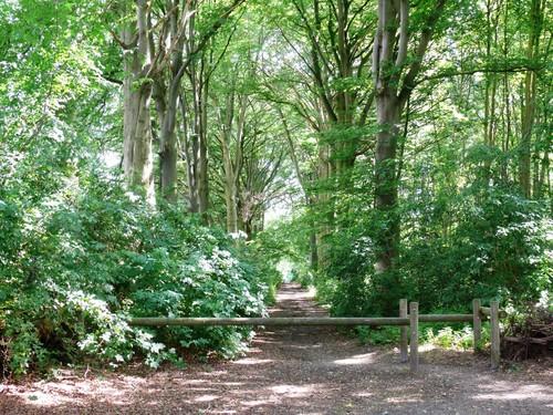 Kruishoutem Lozer Beukendreef met opgaande bomen (4)