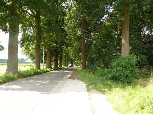 Kruishoutem Lozer  Passionistenstraat enkele dreef zomereiken (1)