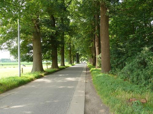 Kruishoutem Lozer  Passionistenstraat enkele dreef zomereiken (2)
