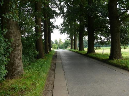 Kruishoutem Lozer  Passionistenstraat enkele dreef zomereiken (3)