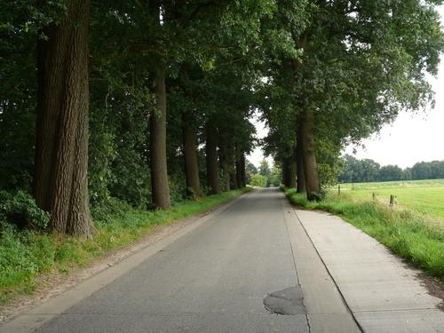 Kruishoutem Lozer  Passionistenstraat enkele dreef zomereiken (5)