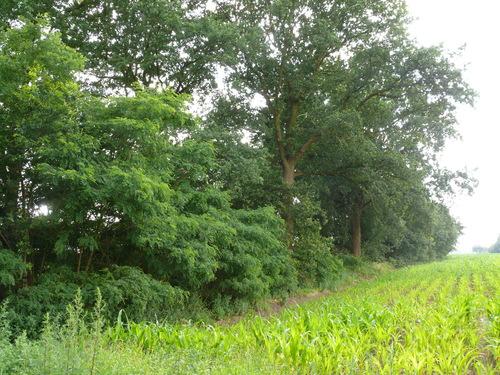 Kruishouten Lozer kruisdreef met opgaande eiken (6)