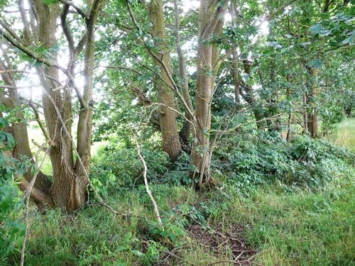 Kruishouten Lozer kruisdreef met opgaande eiken (8)