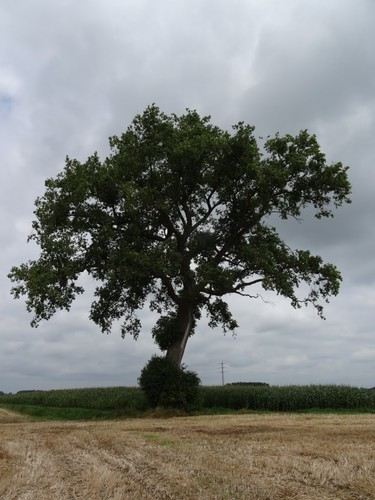 Zottegem Moeielos zonder nummer, Vierschaar zonder nummer, Vollander zonder nummer Zuidzijde van de boom