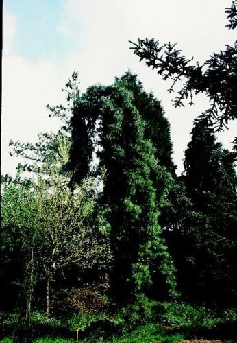 Pinetum met een voorkeur voor de geslachten Pinus en Picea en treurvormen.