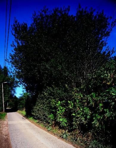 Monumentale hulstbomen als relict van een oude erfbeplanting.