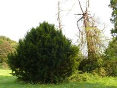 Twee taxussen in villatuin Scherpenberg