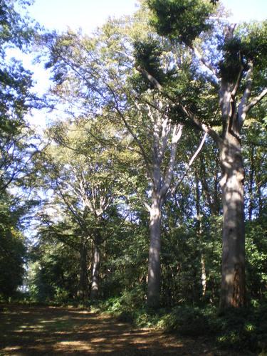 Evergem Wippelgem kasteelpark  zichtdreef met opgaande beuken (3)