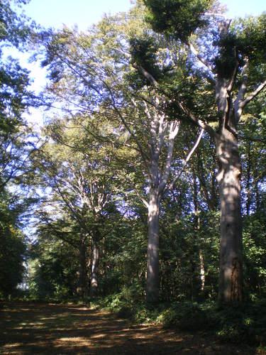 Evergem Wippelgem kasteelpark  zichtdreef met opgaande beuken (4)
