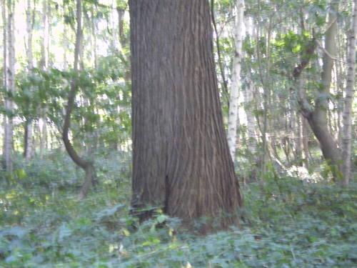 Evergem Wippelgem kasteelpark opgaande tamme kastanje (1)