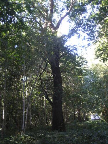 Evergem Wippelgem kasteelpark opgaande tamme kastanje (3)