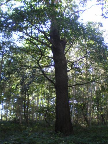 Evergem Wippelgem kasteelpark opgaande tamme kastanje (4)