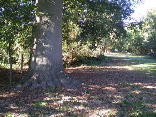 Evergem Wippelgem kasteelpark twee opgaande beuken in zichtdreef (1)