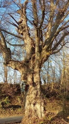 Halen Loksbergen Kapelboom op kruising (3)