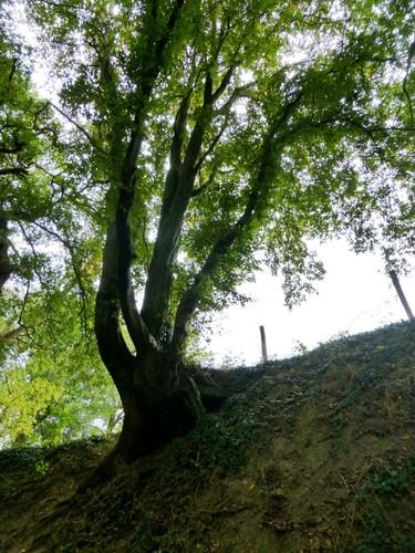 Voeren Teuven Holle weg met hakhout van haagbeuk