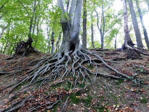 Voeren Teuven knotboom beuk bij holle weg