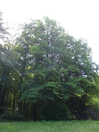 Tervuren Zoniënwoud Herdenkingslinde (4)