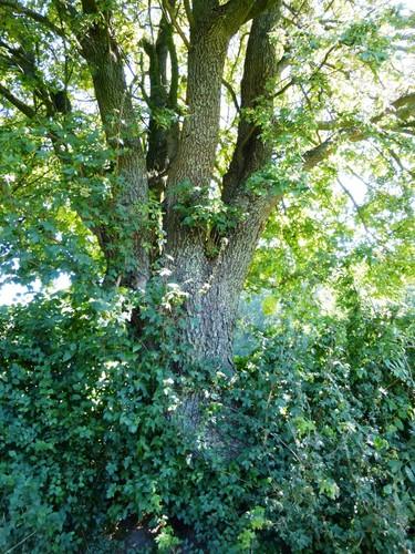 Voeren Kwinten knotboom met veldesdoorn