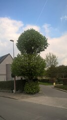 Etagelinde als hoekboom
