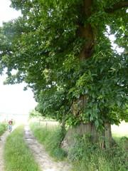 Tamme kastanje bij boomgaard