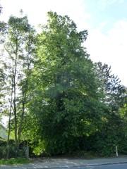 Hollandse linde als kruis- en hoekboom