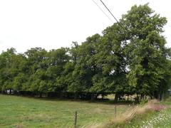 Bomenrij van opgaande linden