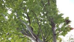 Brugge Leopold I-laan, vredesbomen als laanaanplanting (https://id.erfgoed.net/afbeeldingen/277558)