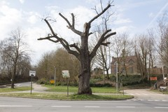 Opgaande linde als vrijheidsboom